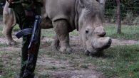 非法買賣野生動物的黑市裡,犀牛角的價格居高不下,甚至達到一磅 6 萬美元(約新台 […]