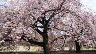 春天到了,也代表賞櫻的季節也到了!你是不是也在籌劃去日本看看那美麗的櫻花呢?雖然 […]