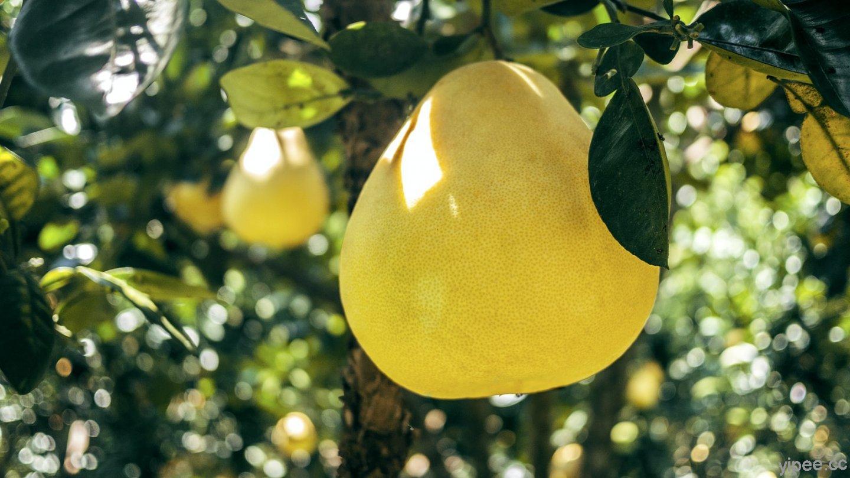 柚子不只好吃又實用!防蚊驅蟲還能清潔